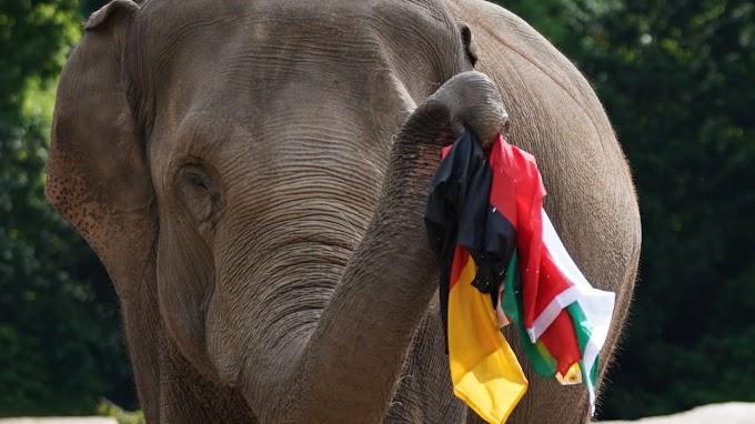 Polvo Paul 2.0? Elefanta de Hamburgo previu empate da Alemanha contra a Hungria