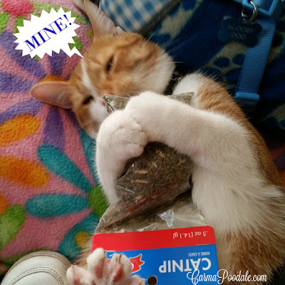 DaeDae the orange and white tabby sniffing catnip