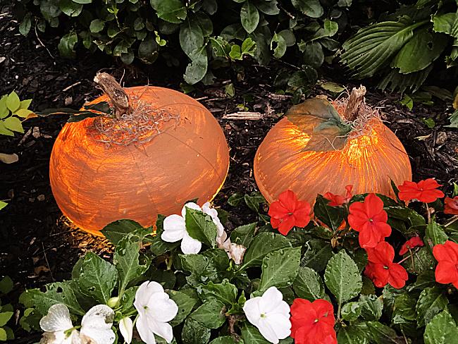 lit up pumpkins in the garden