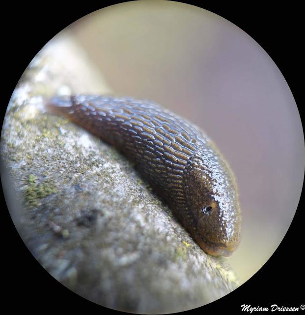 limace slug