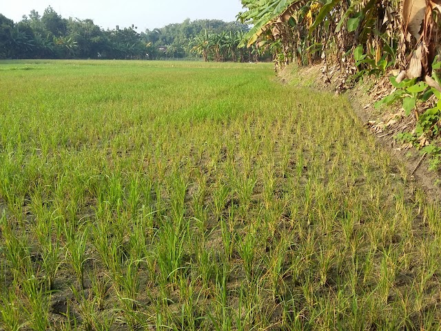 Musim Tanam Padi Kedua, Petani Ngrejeng Terancam Gagal Panen