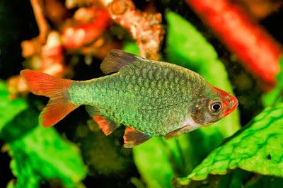 Ikan Sumatra Hijau / Green Tiger Barb