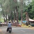 Pohon Tumbang Tutupi Jalan, Sindiran Alam Untuk Elite Unsyiah