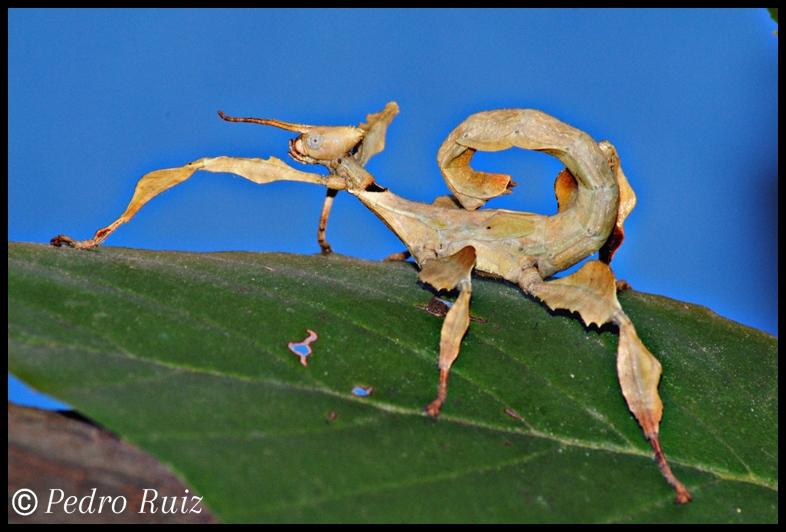 Ninfa macho L4 de Extatosoma tiaratum, 4 cm de longitud