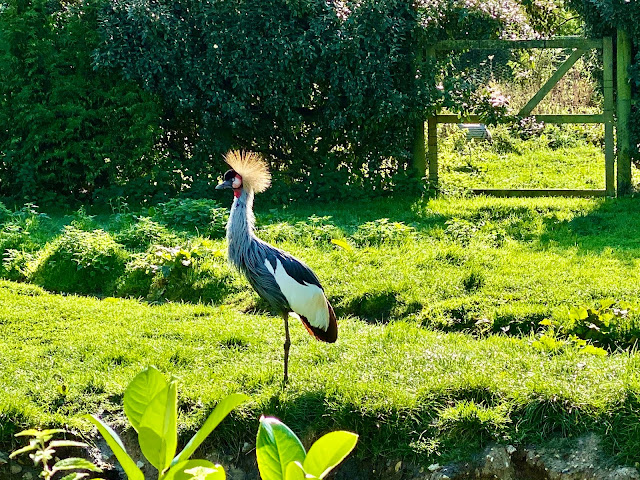 There are a selection of cranes at Pensthorpe Natural Park, this one has pretty cool feather punk hair