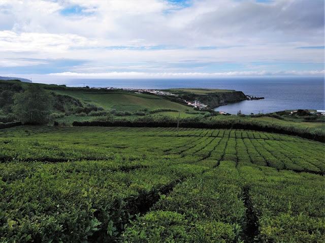 Plantación de té en Porto Formoso