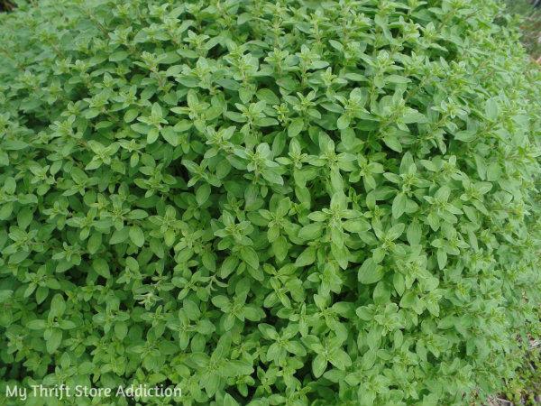 Signs of Spring at Secret Garden Herbs mythriftstoreaddiction.blogspot.com  Available at Secret Garden Herbs: organic oregano