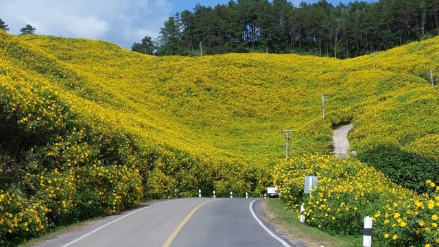 The road of the yellow wild sunflower in Thailand attracts visitors
