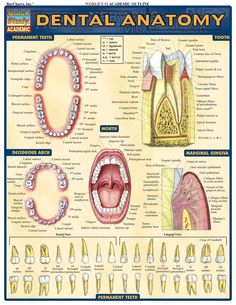 Anatomy of Dental Areas, diagrammatic view
