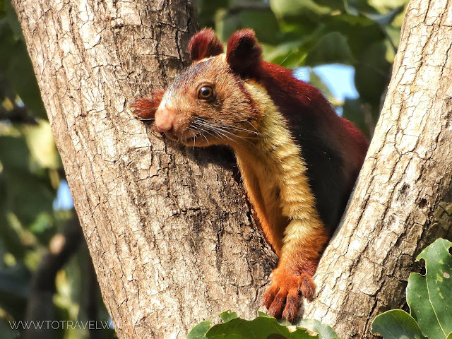 Indian Giant Squirrel - Satpura Tiger Reserve
