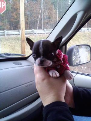 miniature boston terrier cute puppy dogs cute boston terrier puppy 8975