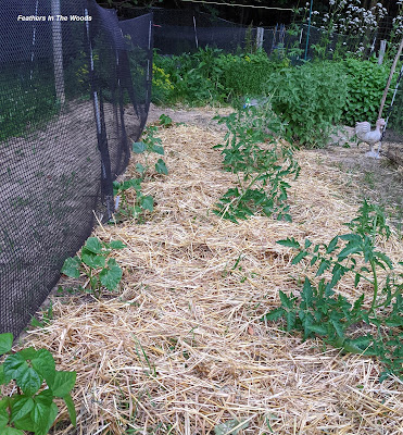Straw mulch on garden