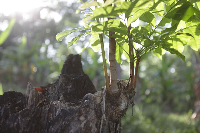 Ciri ciri Pohon Mahoni