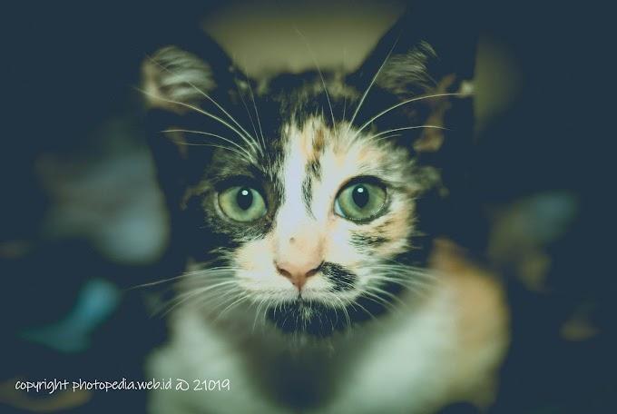Beberapa Sifat Buruk Kucing Jowo