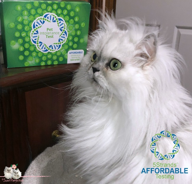 Silver Persian Cat with 5 Strands Box