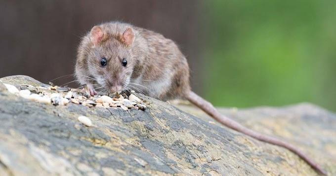 A nem őshonos fajok sokba kerültek Európának az elmúlt hatvan évben