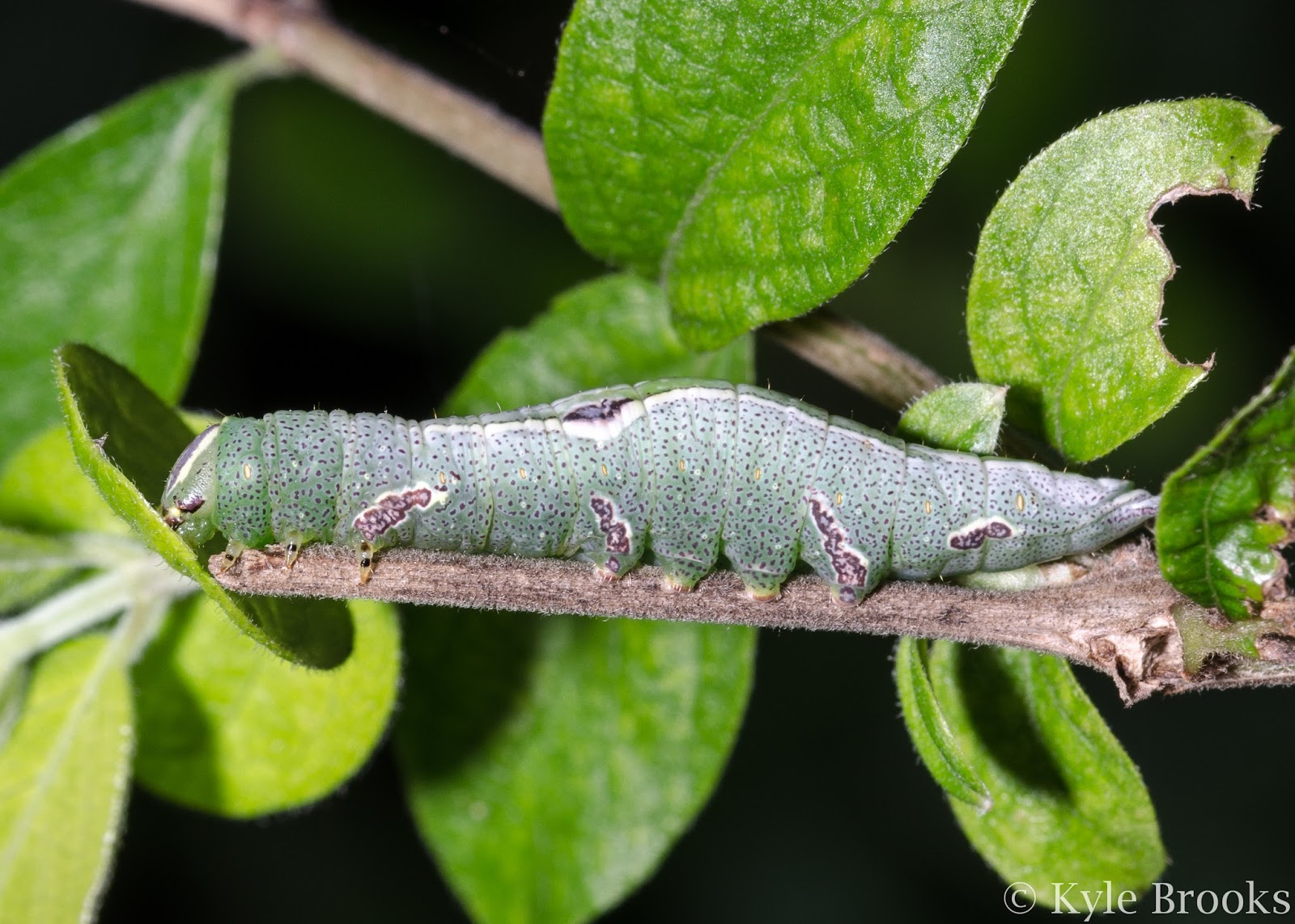 Saddled Prominent caterpillar (Heterocampa guttivitta) Ohio