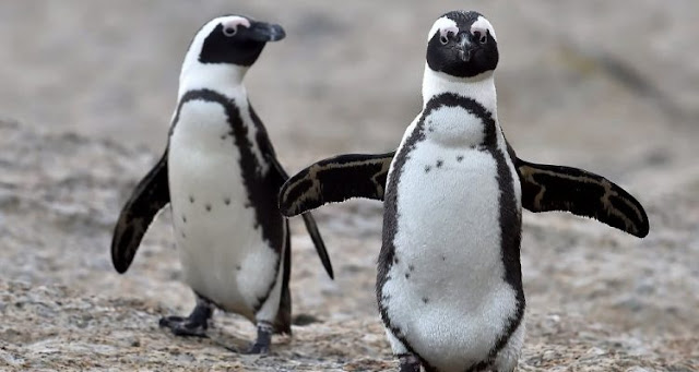 What does the language of African penguins have in common with human language?