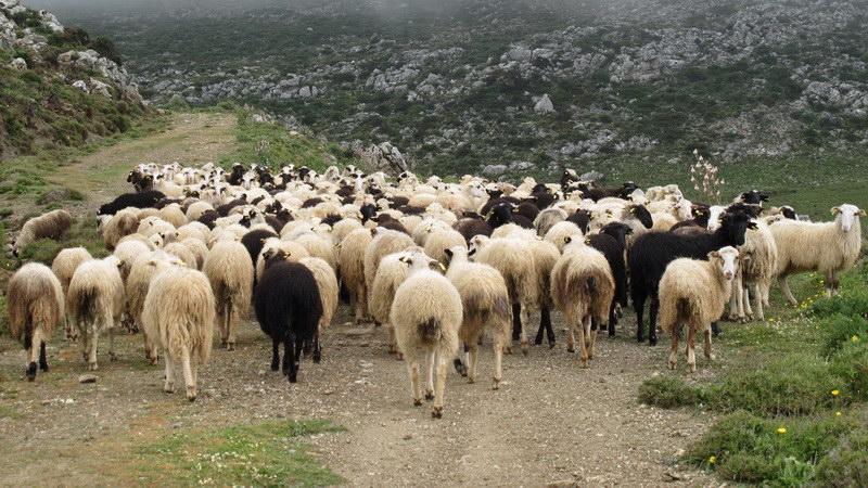 Ευλογιά των προβάτων στην Ευρωπαϊκή Τουρκία - Σε επαγρύπνηση οι κτηνοτρόφοι του Έβρου