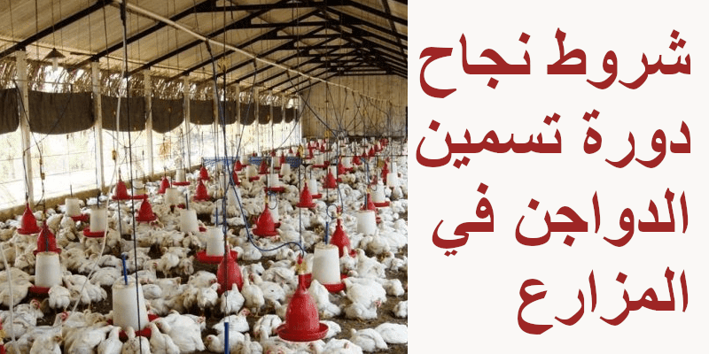 شروط نجاح دورة تسمين الدواجن في المزارع