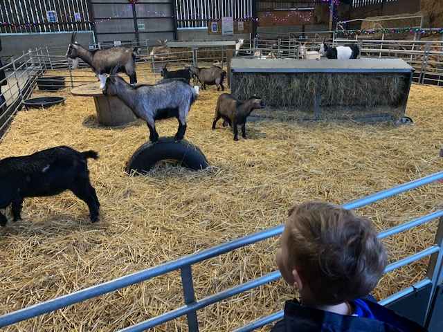 Little boy looking on at an animal barn full of goats
