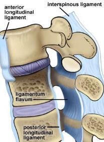 Anatomi Ligamentum Longitudinal Anterior
