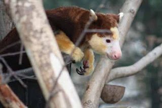 A Matschie's Tree Kangaroo At The Toronto Zoo.