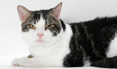 Sifat American Wirehair