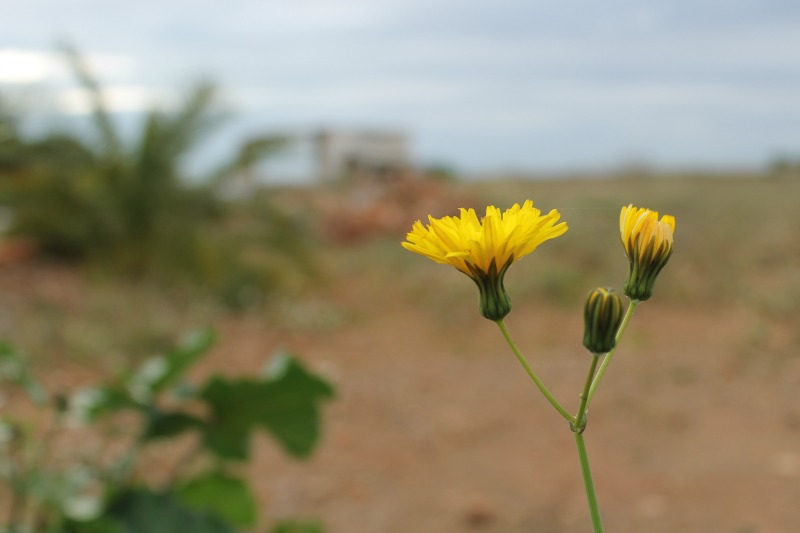 Flor de cerraja