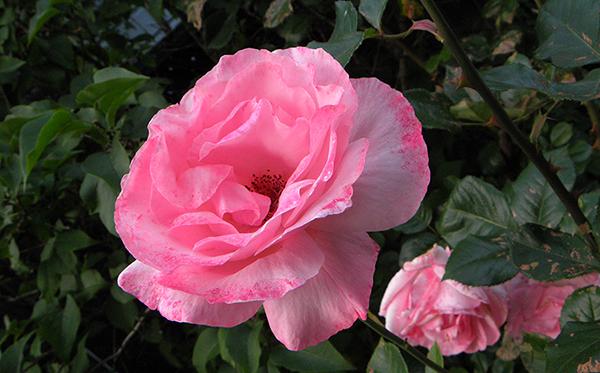 Speckled pink roses