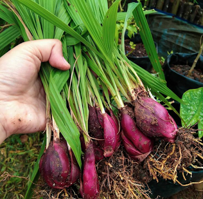 Hasil panen bawang dayak urban farming