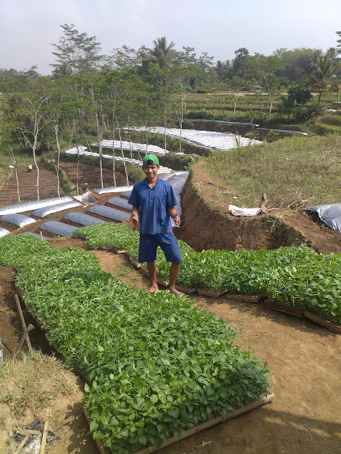 Pengiriman Bibit cabai ke Kecamatan Salaman, Kab.Magelang