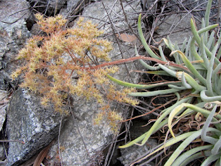Dudleya densiflora on Fish Canyon Trail