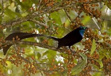 Burung Cendrawasih Princess Stephanie'S