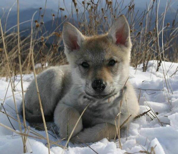 Бабушка спасла маленького волчонка, а он ей через 2 года отплатил