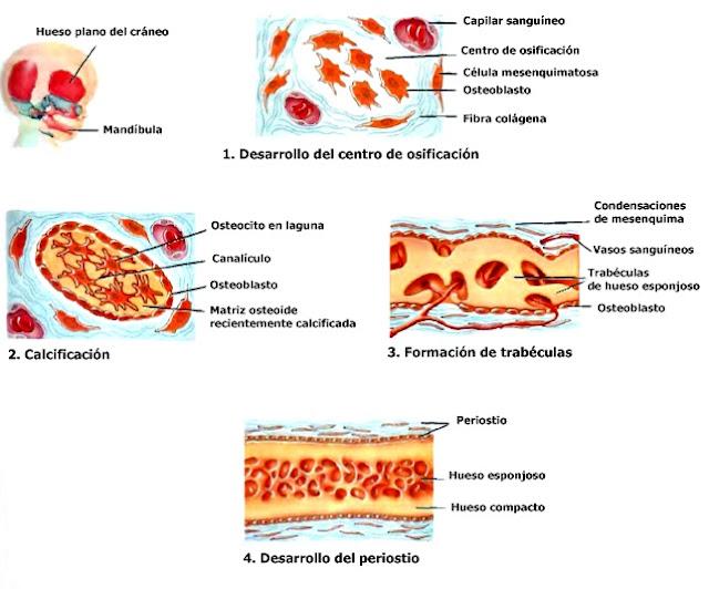 Tejido óseo osificación intramembranosa