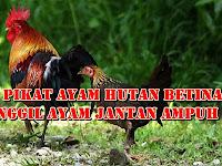 Download Suara Pikat Ayam Hutan Betina Untuk Memanggil Ayam Jantan Mp3 Durasi Panjang
