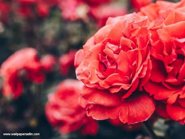 Rose Wallpaper -3