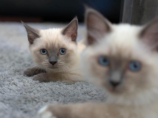 القطط السيامية