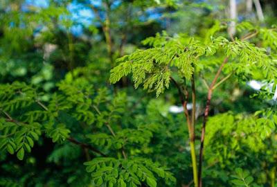 Gambar pohon dan daun kelor