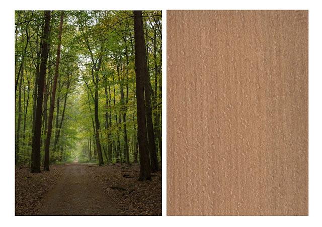 specie legnose faggio