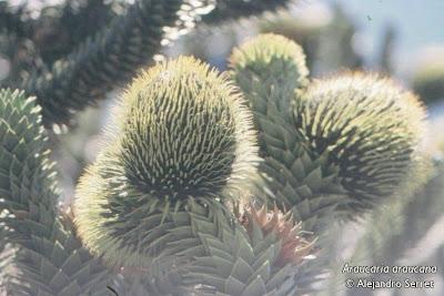 Araucaria Araucaria araucarna