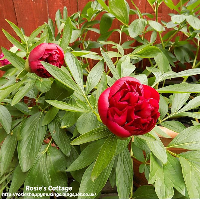 Peony Roses In Bloom