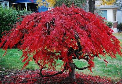 piante-da-giardino-con-foglie-rosse-acero-rosso-palmato
