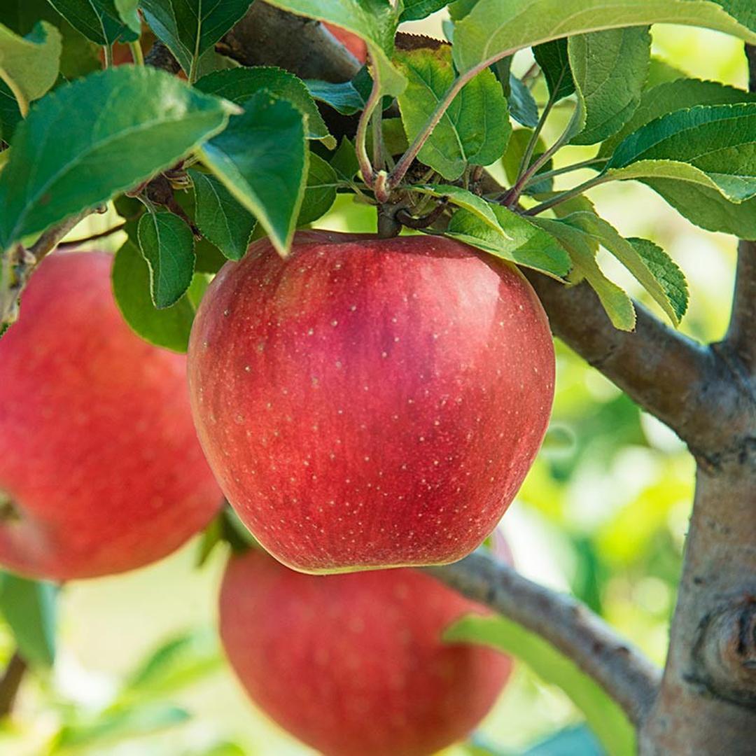 Stok banyak! Paket 3 Bibit Pohon Apel Anna Cepat Berbuah Termurah Kota Jakarta #Jual bibit buah