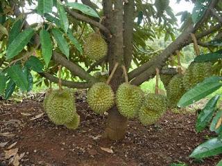 Akar tunggang pohon durian