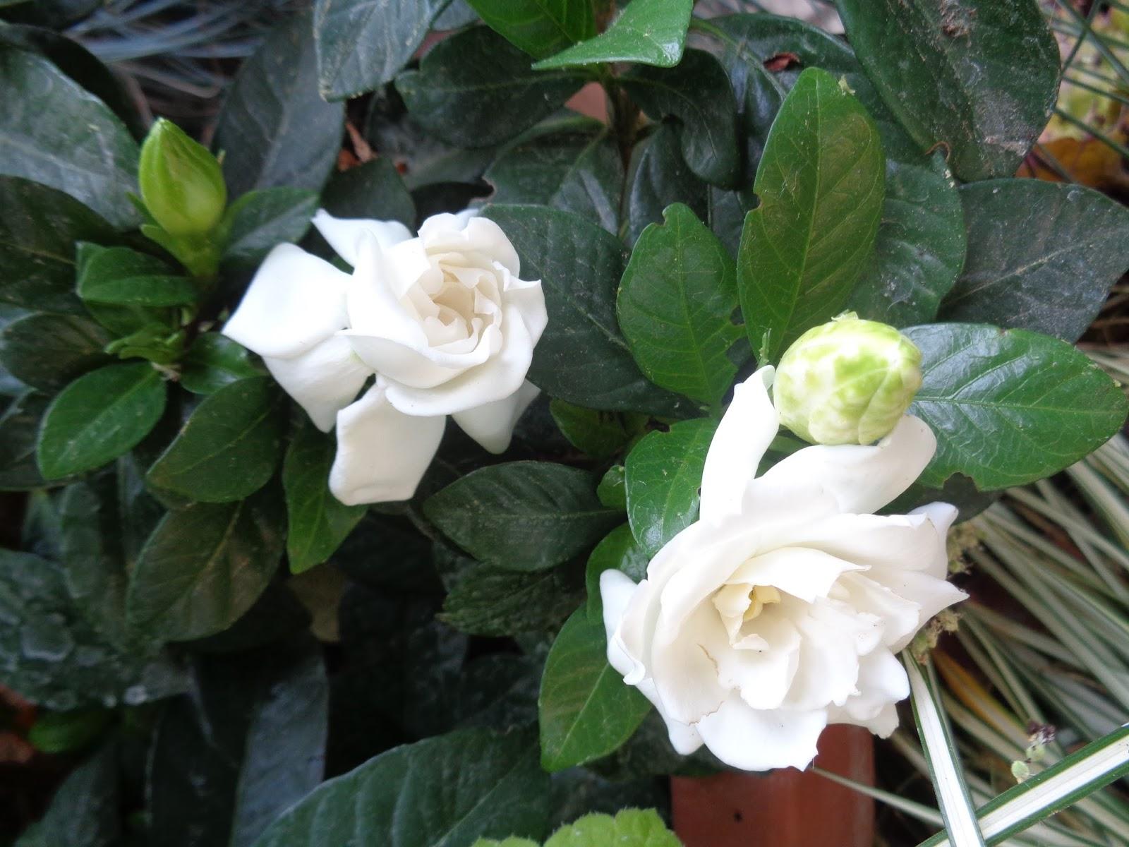 Gardenia Pianta Da Esterno O Interno - The Studio Apartments