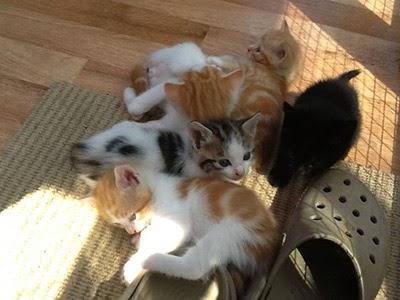 Foster kittens