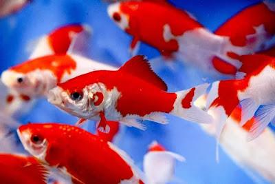 Ikan Komet Sarasa