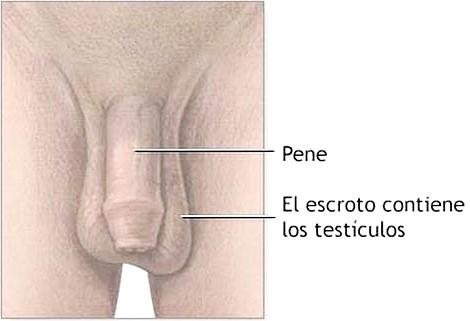 Dibujo del Aparato Reproductor Masculino (hombre) indicando sus partes
